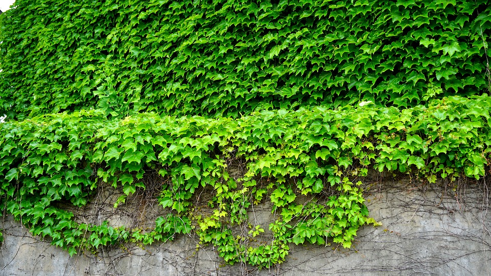 zeď s živým plotem